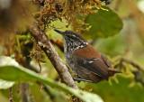 Bar-winged Wood-Wren