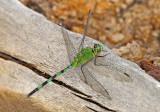 Dragonfly Moyobamba