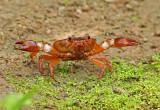 Crab Casupe