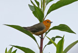 Rufous-chested Tanager