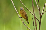 Large-billed Seedfinch