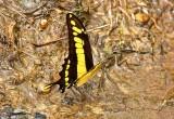 Papilion Putumayo