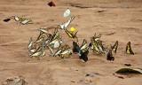 Butterflies Shiripuno