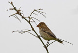 Chestnut-throated Seedeater