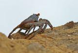 Crab Salinas