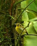 Golden-crowned Spadebill