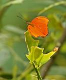 Buttterfly Playa-de-Oro