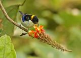 Golden-collared Honeycreeper