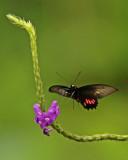 Butterfly Yurimaguas road.jpg