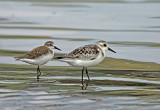 Sanderling and Semipalmated Sandpiper