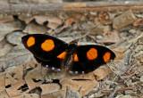 Butterfly Tipishca