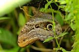 Caligo zeuxippus