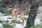 A gazelle in the snow