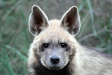 Striped Hyena (in the Jerusalem hills)