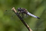 Libellen en juffers - Dragonflies and damselflies