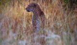 Okavango Leopard