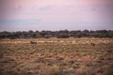 Lions at dusk