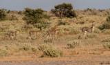 Cheetahs across the Kalahari