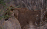 Stealthy Lioness