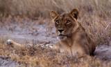 Dark faced Lioness