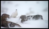 Male Ptarmigan showing his Red Eyebrow