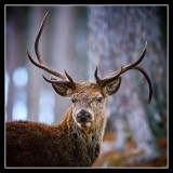 Twisted Antler Stag