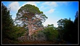 Centuries Old Majestic Scots Pine