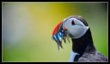 Seabirds of Scotland