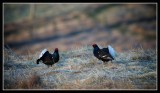 Black Grouse at Lek