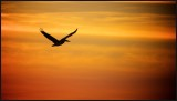 Pelican off to Roost