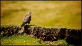 Buzzard waits at rabbit burrows