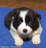My Border Collie puppy at 5 weeks