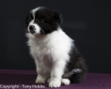 Lassie - sitting