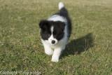 Lassie Bounding around Cheddar on her twelth weeks birthday.