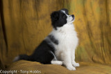 Lassie at 12 weeks in my studio