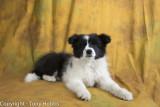 Lassie at 13 weeks of age