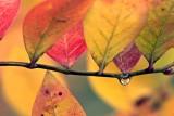 FallBlueberries2_StevePhilbrick.jpg