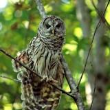 OwlSteelhead-Park3.jpg