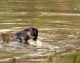 OtterSalmon2.jpg
