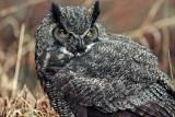 Owl121913_1.jpg