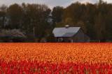 Tulips041114_3.jpg