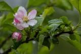 CherryBlossoms_050314.jpg
