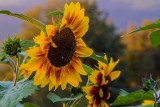 SunflowerBluHeronFarm082514.jpg 20x30