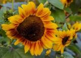 SunflowerBluHeronFarm082514_2.jpg