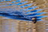 Otter010715.jpg