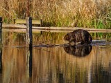BeaverBarnabySlough033015.jpg
