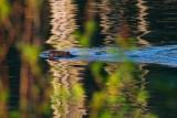 BeaverBarnabySloughRefl050815.jpg 32x48
