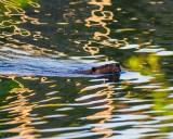 BeaverBarnabySloughRefl_2_050815.jpg 20x24