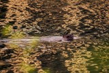 BeaverBarnabySlough_2_051515.jpg 20x30