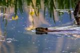 BeaverBarnabySloughIrisRefl051915.jpg 20x30